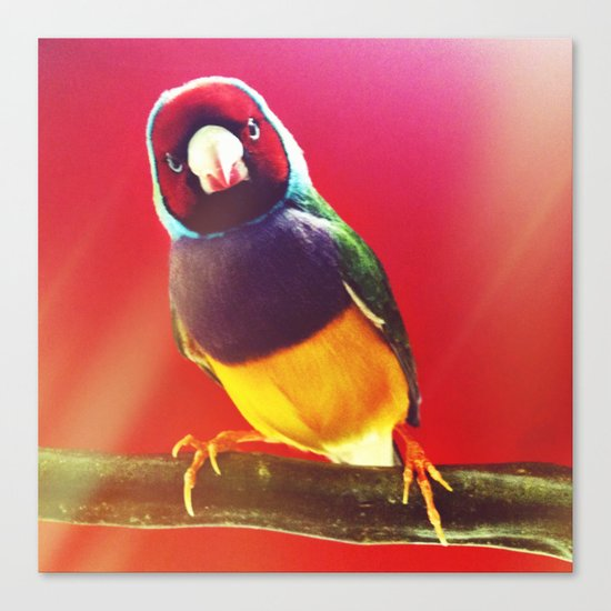 Curious Lady Gouldian Finch  Canvas Print