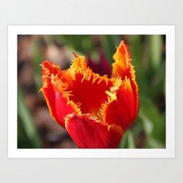 Tulip - Red with Ruffles Art Print