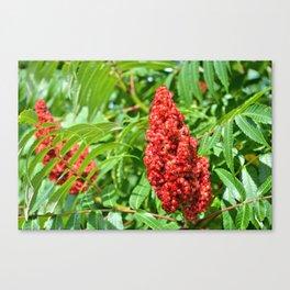 Sumac Flowers Canvas Print