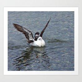 Razorbill spreading its wings Art Print