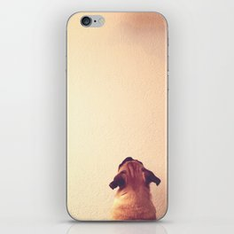 Pug staring up the wall iPhone Skin