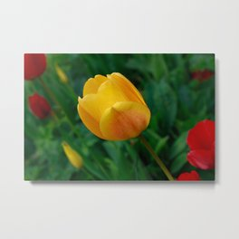 Close-up Of Bright Yellow Tulip Metal Print