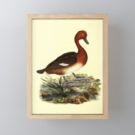 Ferruginous Duck anas ferruginea3 Framed Mini Art Print