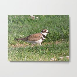 Killdeer Browsing Metal Print