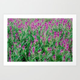Celosia Flower Field Art Print