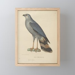 falco hemidactylus3 Framed Mini Art Print