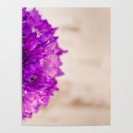 Purple chrysanthemums Poster