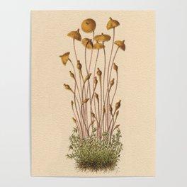 1800s Moss Lithograph Splachnum Luteum Poster