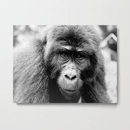 Silver back Gorilla Metal Print