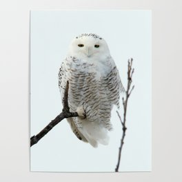 Snowy in the Wind (Snowy Owl 2) Poster
