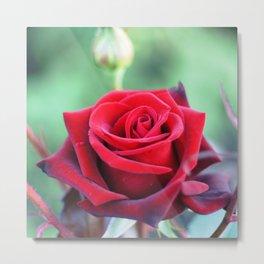 Roses on the city flowerbed. Metal Print