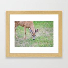 Columbian Black Tailed Deer, Buck 2 Framed Art Print