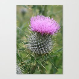 Scottish Thistle Canvas Print
