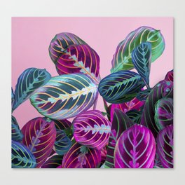 Prayer Plants on a Pink Canvas Print