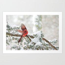 Winter Snow Flight: Northern Cardinal Art Print