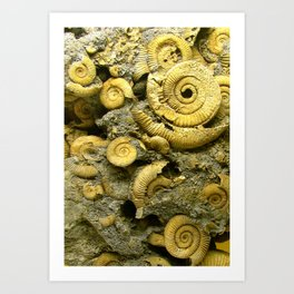 Fossils - Ammonite - Coiled Cephalopods  Art Print