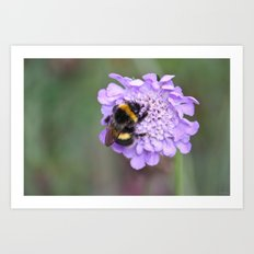 Bee on scabious Art Print