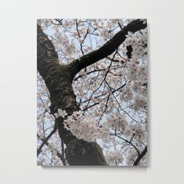 Sakura Blooming (Japan) Metal Print