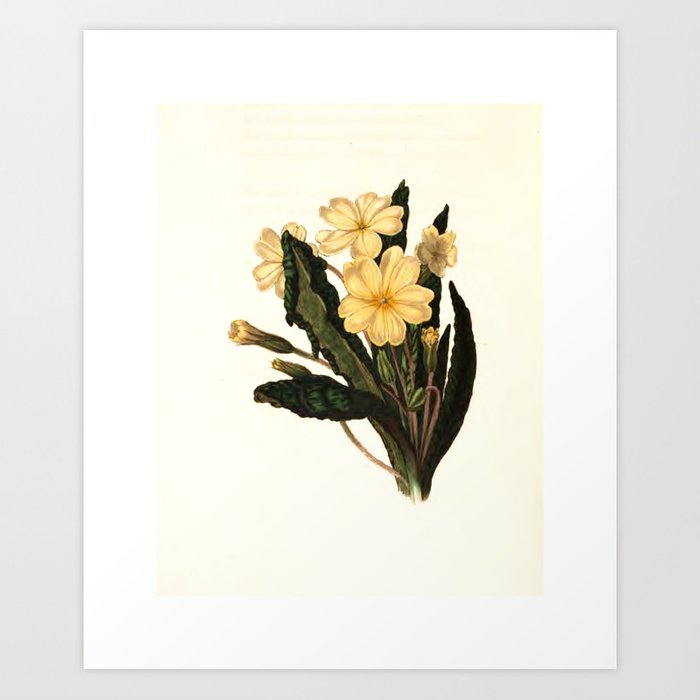 """Primrose from """"The Moral of Flowers"""" (1833) by Rebecca Hey Art Print"""