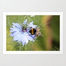 Bee on nigella Art Print