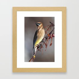 Cedar Waxwing Pose Framed Art Print