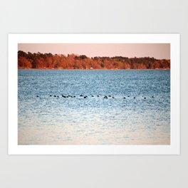 American Coots Crossing Lake Art Print