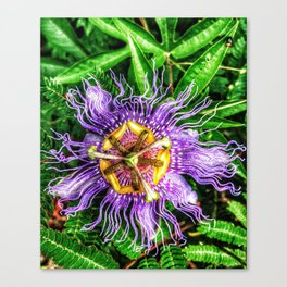 Passiflora incarnata Canvas Print