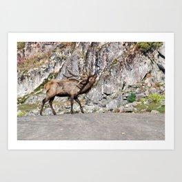 Wapiti Bugling (Bull Elk) Art Print