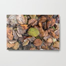 Colorful autumnal hazelnut tree's leaves Metal Print