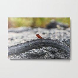 Mini lava lizard on Iguana's tail in Galapagos Metal Print