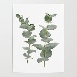 Eucalyptus Branches II Poster