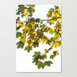 Green And Yellow Maple Leaf Canvas Print