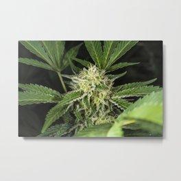 cannabis flower and leaves Metal Print