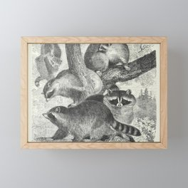 Naturalist Raccoons Framed Mini Art Print