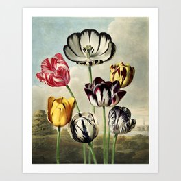 Tulips : Temple of Flora of New Illustration of the Sexual System Art Print