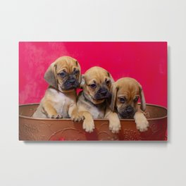 Three Puggle Puppy Brothers in a Basket in front of a Red Background Metal Print