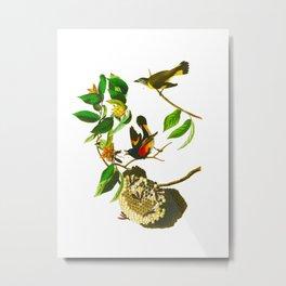 American Redstart John James Audubon Vintage Scientific Hand Drawn Illustration Birds Metal Print