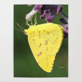Orange Sulphur Butterfly Poster