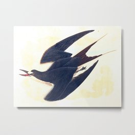 Sooty Tern John James Audubon Scientific Illustration Birds Of America Drawings Metal Print