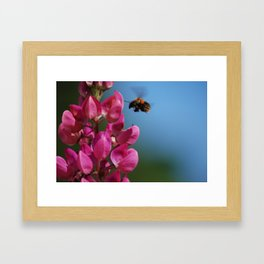 Lupin to the bee Framed Art Print