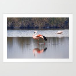 Chilean Flamingo (Phoenicopterus chilensis) Art Print