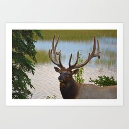 A Bull Elk in the Rocky Mountains Art Print