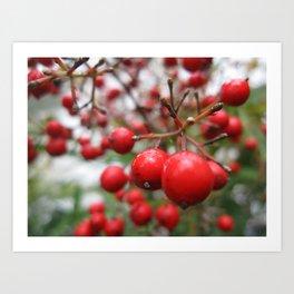Nandina Berries Art Print
