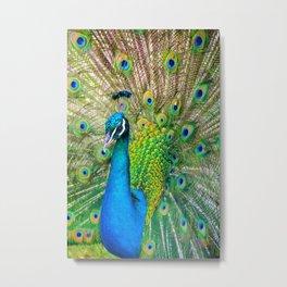 Beautiful Peacock (Color) Metal Print