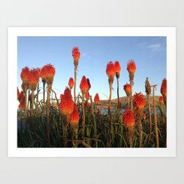 RED HOT POKERS Art Print