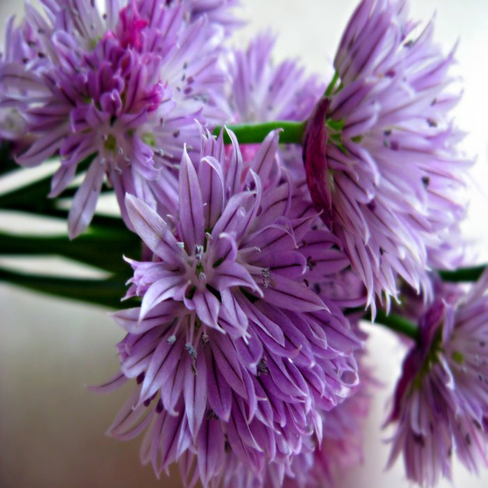 Chives Comforters