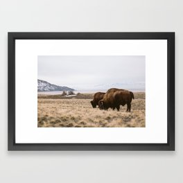 Bison sharing the feed Framed Art Print