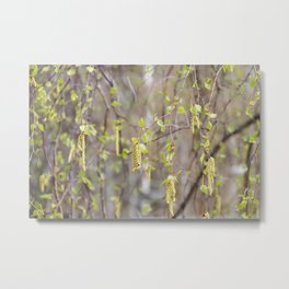 Blossoming birch tree in spring Metal Print