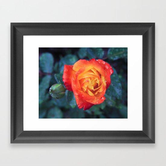 Multicolor Rose Framed Art Print