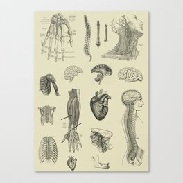 Vintage Anatomy Print Canvas Print